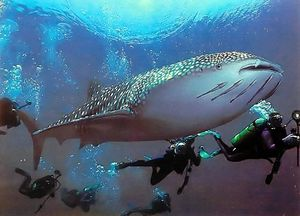 Huge-Fish-Thailand-Scuba-Diving