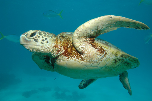 Sea-Turtle-Great-Barrier-Reef-Australia
