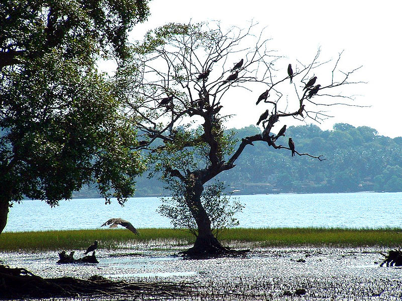 Goa_Chapora_River_Colony_of_Birds